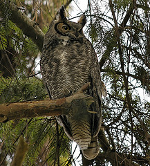 Great Horned Owl in an evergreen tree