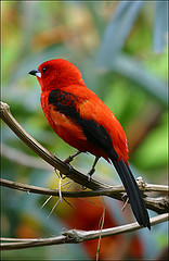Bright Red Bird with black wing and tail