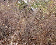 Camouflaged Deer in a thicket