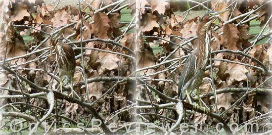 The Camouflaged Green Heron