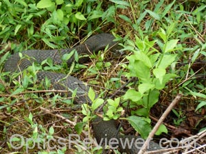 Northern water snake - close up