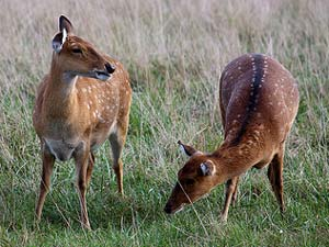 Sika Deer in meadow