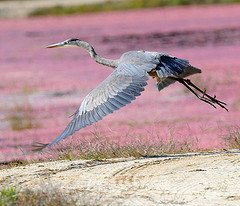 Heron flying over cranberry marsh