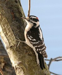 Downy Woodpecker looking for food