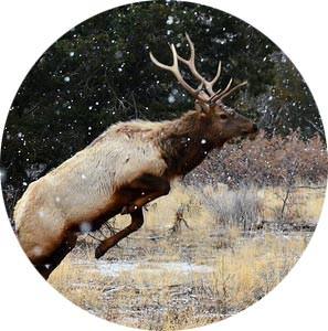 Jumping Bull Elk